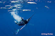 striped marlin, Kajikia audax (formerly Tetrapturus audax ), targets another sardine which has strayed a little bit outside the baitball of sardines, Sardinops sagax, off Baja California, Mexico ( Eastern Pacific Ocean ); #4 in sequence of 6 images