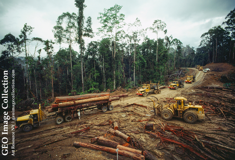 Several large trucks loaded with freshly-cut dipterocarp logs wind their way th rough the forest on a log company road.  The logs are on their way to the Camp Kenangan sawmill. Dipterocarps, such as Philippine mahogany (known locally as r ed and yellow meranti), bring high prices in the international lumber market.