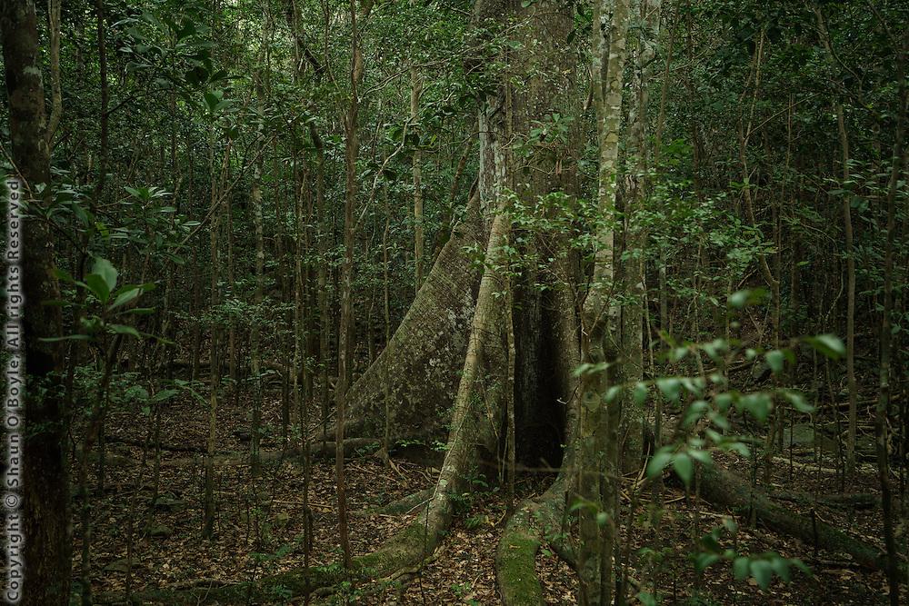 Kapok tree near Beverhoutsberg Plantation, St. John, USVI