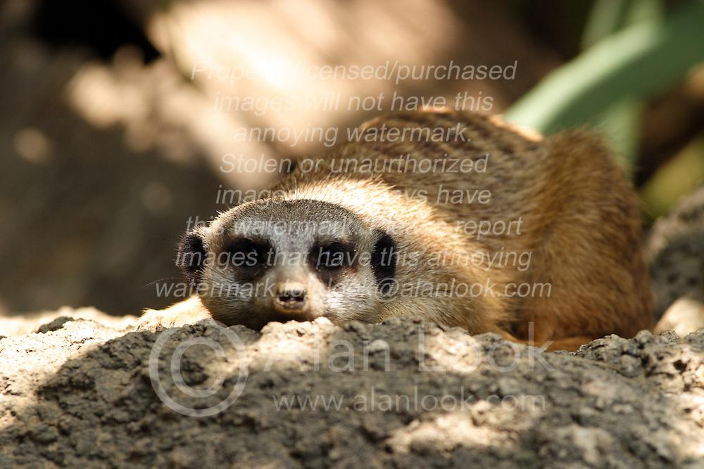 24 July 2005.  <br /> Meerkat.<br /> Memphis Zoo.  Memphis TN (Photo by Alan Look)