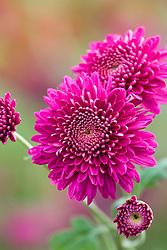 Chrysanthemum 'Cerise Medallion'