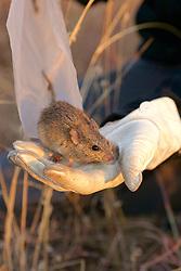 Veld Field Mouse