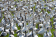 Snow Geese (Chen caerulescens) flock standing alert while wintering gather close together for protection from predators at Fox Island, Skagit River Delta, WA, USA
