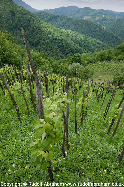 Vines growing on sharpened stakes, a typical sight in the vineyards of Zumberak and Samoborsko gorje, Croatia