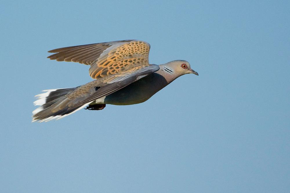 Turtle Dove (Streptopelia turtur), in flight, Turteltaube fliegend, near Nikopol, Bulgaria