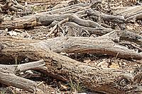 Dead Trees at Grand Canyon, Grand Canyon National Park, USA.