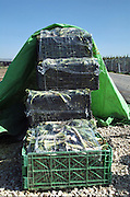 Israel, Jordan Valley, Kibbutz Ashdot Yaacov, A planted field of gundelia AKA Tumble Thistle (Gundelia tournefortii) Used in the Arab cuisine as a herb and vegetable. The harvest ready for shipping