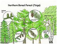 As you travel to the north shore of Lake Superior, the forests change. From the deciduous forests of maple and oak they turn into forests of mostly conifers. Now you have entered the Northern Boreal Forest. These forests are vast and make up one-third of the world's forests. This forest has fewer types of trees than a deciduous forest. It has mainly black spruce, tamarack, balsam fir, paper birch, alder, jack pine, and quaking aspen. Underlying the trees are shrubs, mosses and lichens. (Courtesy of ExploringNature.org)