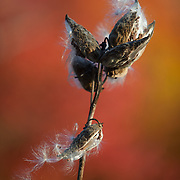 Dried milkweed pods and seeds with fall foliage in the background