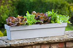 Zinc trug planted up with lettuce