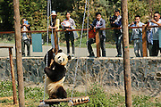 KUNMING, CHINA - APRIL 14: (CHINA OUT) <br /> <br /> Zoo Installs Television To Cheer Panda Up<br /> <br /> Giant Panda Si Jia watches TV showing old videos of him and the other two pandas at Yunnan Wild Animal Park on April 14, 2014 in Kunming, Yunnan Province of China. Si Jia is one of the three pandas placed in foster care at Yunnan Wild Animal Park after the Wenchuan earthquake in 2008, when Wolong National Natural Reserve in Sichuan province was damaged seriously. Si Jia is the only panda left behind in Yunnan province after the other two were sent back to Sichuan. The panda has started to behave abnormally recently and shows signs of depression. Workers at the park installed many play facilities to cheer it up. They even installed a television and also placed a stuffed panda as its new neighbor. <br /> ©Exclusivepix