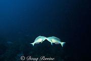 male redband parrotfish, <br /> Sparisoma aurofrenatum,  <br /> lock jaws in a territorial dispute,<br /> Belize, Central America ( Caribbean Sea )
