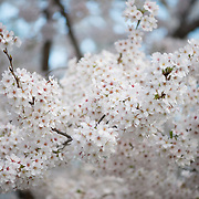 Washington DC's cherry blossoms in full bloom around the Tidal Basin. Some of the oldest trees are now over a century old.