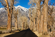 Old cottonwood trees line a rural road under the snowy Sierra Nevada mountains in early spring 2021, in Round Valley near Bishop, California, USA.