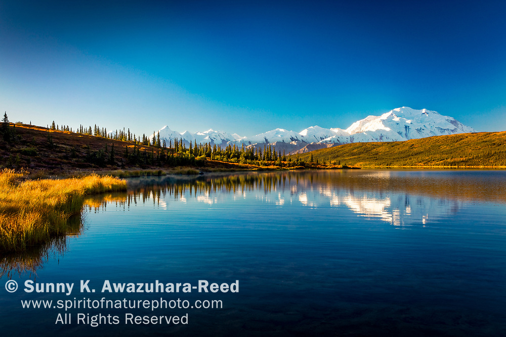Mt. Denali (McKinley) reflects on Wonder Lake with fall color tundra, under blue sky,  Denali National Park & Preserve, Interior Alaska, Autumn.