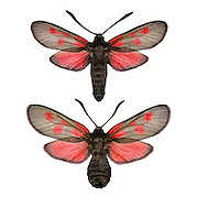 New Forest Burnet - Zygaena viciae<br /> 54.007 BF168