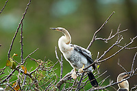 Anhinga Anhinga anhinga chick just left nest Wakodahatchee Wetlands Delray Beach Florida USA