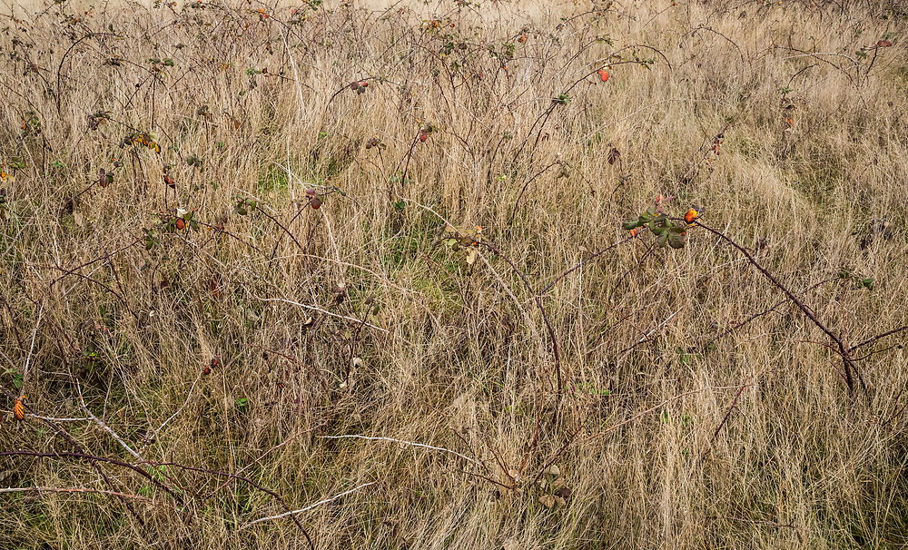 Autumn / Winter grasses in American Camp National Historical Park, San Juan Island, Washington, USA.