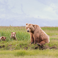 A brown bear sow and her twin cubs of the year sit in the summer grasses of Hallo Bay, Katmai National Park