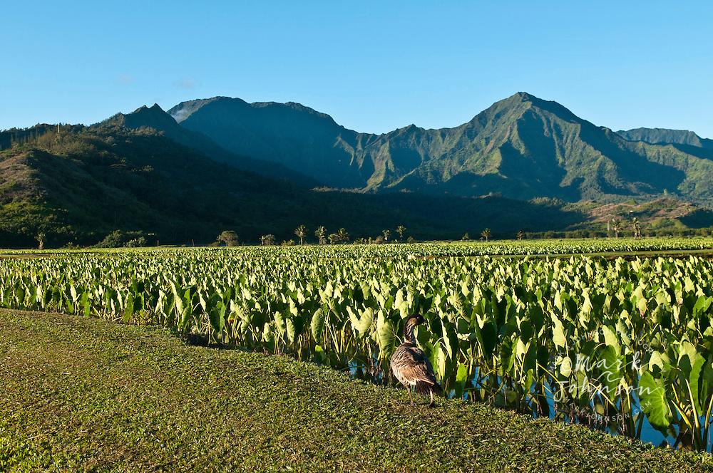 Nene Goose, Hanalei National Wildlife Refuge, Kauai, Hawaii
