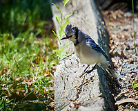 Blue Jay. Image taken with a Nikon N1V1 camera, FT1 adapter, and 70-200 mm f/2.8 VRII lens