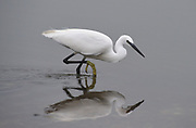 A Little Egret (Egretta garzetta) stalks small fish in a shallow lagoon. Its distinctive yellow feet are visible. Rye Harbour Nature Reserve, Rye Harbour, Sussex, UK. 29Sep13