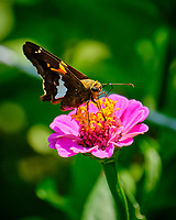 Silver-spotted Skipper on a Zinnia Flower. Image taken with a Fuji X-T2 camera and 100-400 mm OIS lens