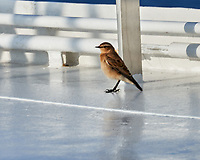 Northern Wheatear (Oenanthe oenanthe). Viewed from the deck of the MV Explorer. Image taken with a Nikon D800 camera and 70-300 mm VR lens.