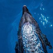 A bottlenose dolphin (Tursiops truncatus) exhales just as she reaches the surface. San Cristobal Island, Galapagos, Ecuador.
