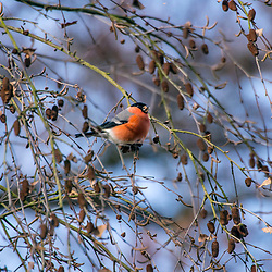 """Dom-fafe (Pyrrhula pyrrhula) fotografado na Alemanha, na Unição Européia - Europa. Registro feito em 2016.<br /> ⠀<br /> <br /> ENGLISH: Eurasian bullfinch photographed in Germany, in European Union - Europe. Picture made in 2016."""