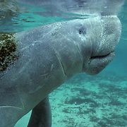 West Indian Manatee, (Trichechus manatus) Adult surfaces for air in freshwater spring. Florida.