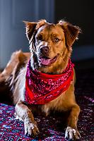 An Australian Shepherd/Golden Retriver mix dog, Littleton, Colorado USA.