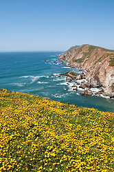 California wildflower travel:  Goldfields and seascape at Chimney Rock in Point Reyes.Photo copyright Lee Foster.  Photo # cawild102498