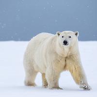 A polar bear moves along the shores of arctic Alaska