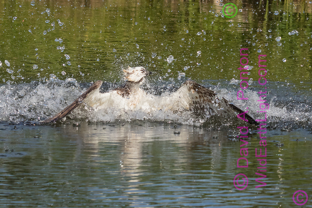 Osprey emerges from a pool after diving for a fish, splashing up large water drops, © David A. Ponton