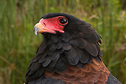 Portrait of a Bateleur eagle (Terathopius ecaudatus) photographed at the Chipangali Wildlife Orphanage near Bulawayo, Zimbabwe. © Michael Durham / www.DurmPhoto.com
