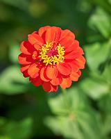 Orange Zinnia. Image taken with a Leica SL2 camera and Sigma 70 mm f/2.8 macro lens