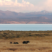 Grizzly bear (Ursus arctos) mother and cubs along the shoes of Yellowstone Lake, Yellowstone National Park, Wyoming.