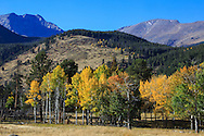 Aspen trees clothed in autumn yellow and framed by the mountains of Rocky Mountain National Park, Colorado, USA