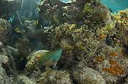 Redband Parrotfish (Sparisoma aurofrenatum)<br /> Halfmoon Caye, Lighthouse Reef Atoll<br /> Belize<br /> Central America