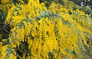 Cootamundra Wattle Tree, in flower, Acacia baileyana, Australia