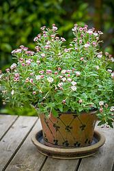 Zaluzianskya ovata growing in a pot on the patio table