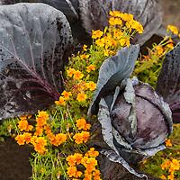 Purple cabbage and edible marigolds:Tagetes tenuifolia 'Tangerine Gem', signet marigold 'Tangerine Gem'.