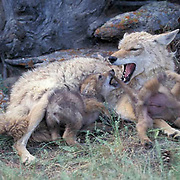 Coyote, (Canis latrans) Adult female with pups. Spring. Rocky mountains. Montana. Captive Animal.