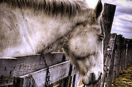 A grey horse leaning over a wooden fence