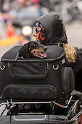 A dog looks out of the backpack on a motorcycle as bikers cruise down Main Street during the 74th Annual Daytona Bike Week March 7, 2015 in Daytona Beach, Florida.