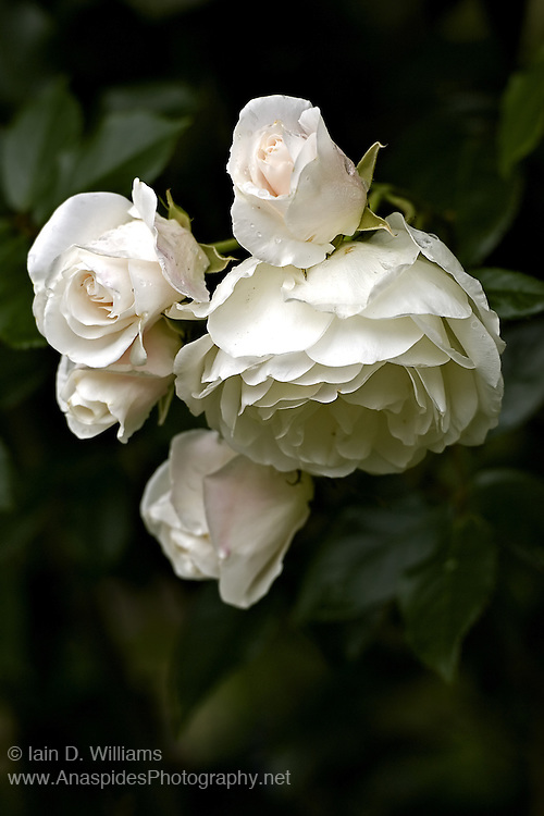 White Iceberg Rose Cluster - Tasmania