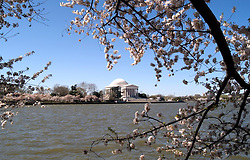 Washington, DC: Cherry Blossom Festival.  Cherry blossoms and Jefferson Memorial.  Photo #: washch105 (nef480)..Photo copyright Lee Foster, www.fostertravel.com, 510-549-2202, lee@fostertravel.com