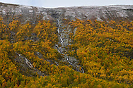 Autumn/Fall colours in the Mountain birch zone, Betula pubescens ssp. tortuosa, Dovrefjell National Park, Norway