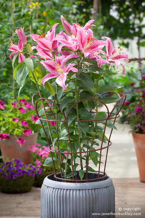 Lilium 'Stargazer' supported by metal plant support